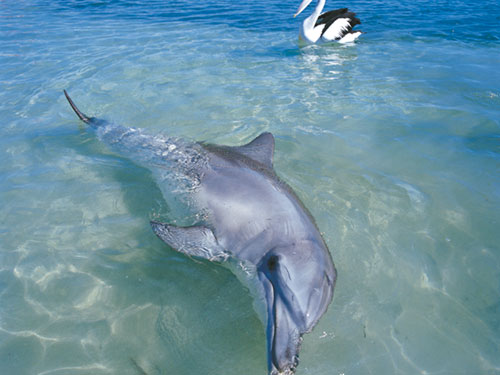 dolphins at Monkey Mia