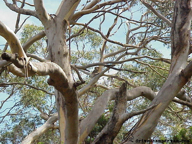 can you spot the koala